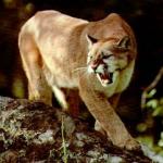 Kempner Cougar Classic